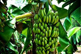 Food produced in Tropical Rainforests - Food in Tropical Rainforests